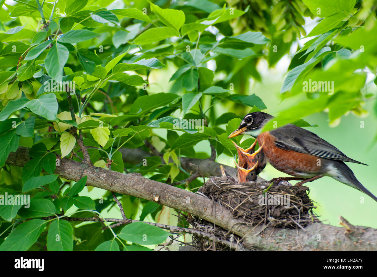 Momma Robin feeds baby birds in nest on branch - Stock Image