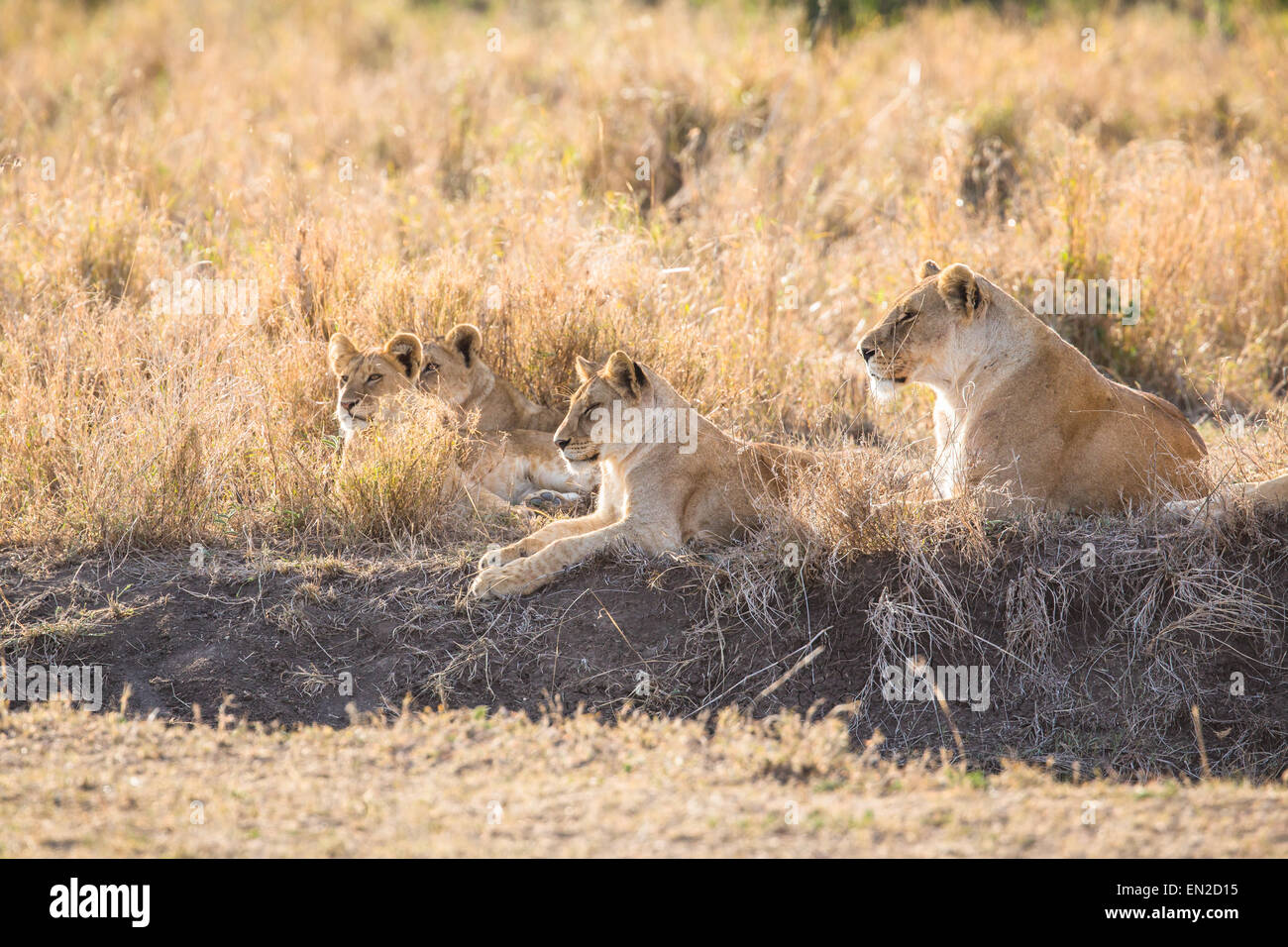 Lion pride rests in the grass - Stock Image