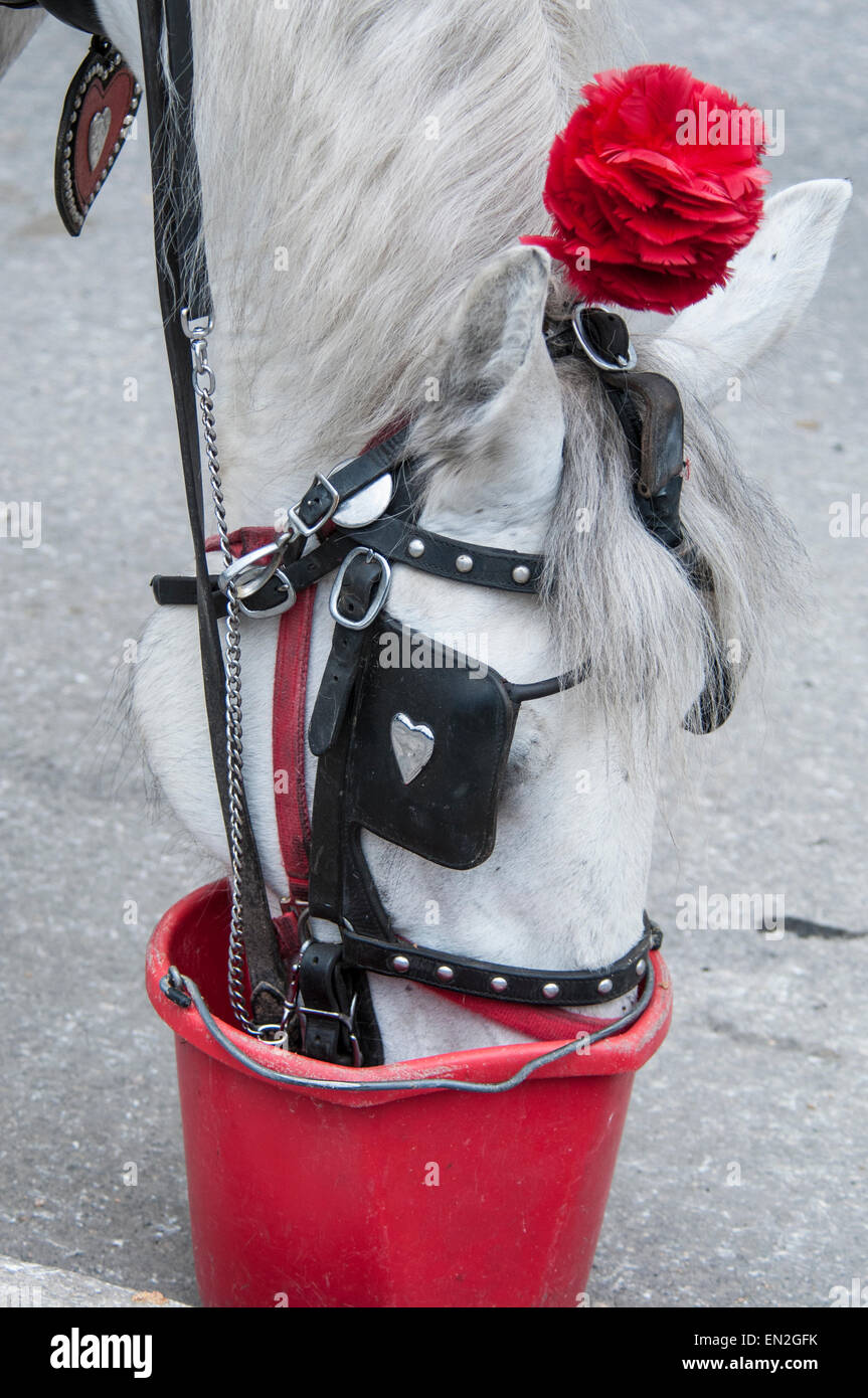 White carriage horse with an artificial red rose decorating it's harness, drinking from a red bucket on Central - Stock Image