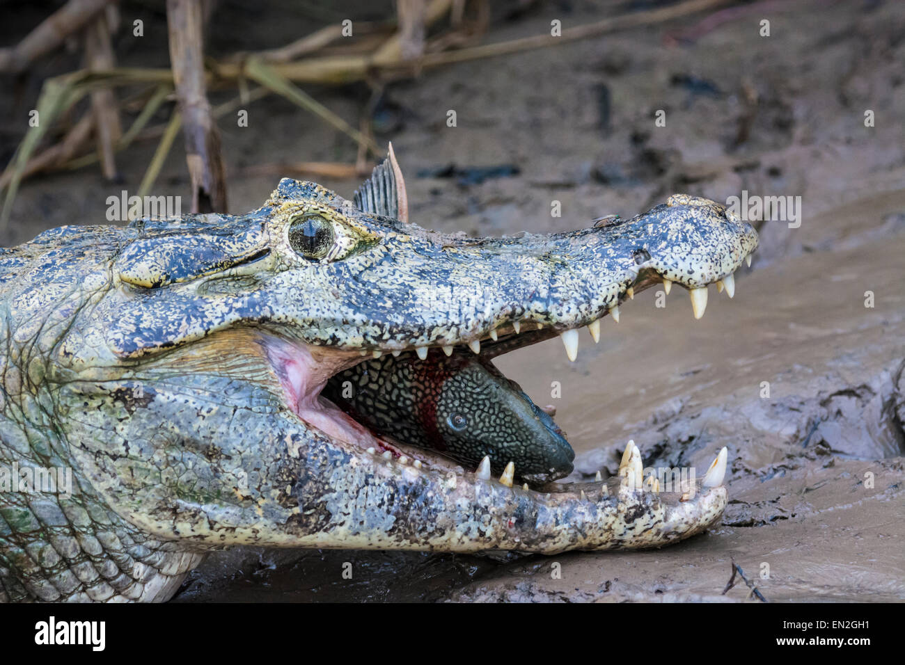 Profile of the head of a Yacare Caiman, Caiman crocodilus yacare, with a fish in its mouth and a fly on its nose in the Pantanal Stock Photo
