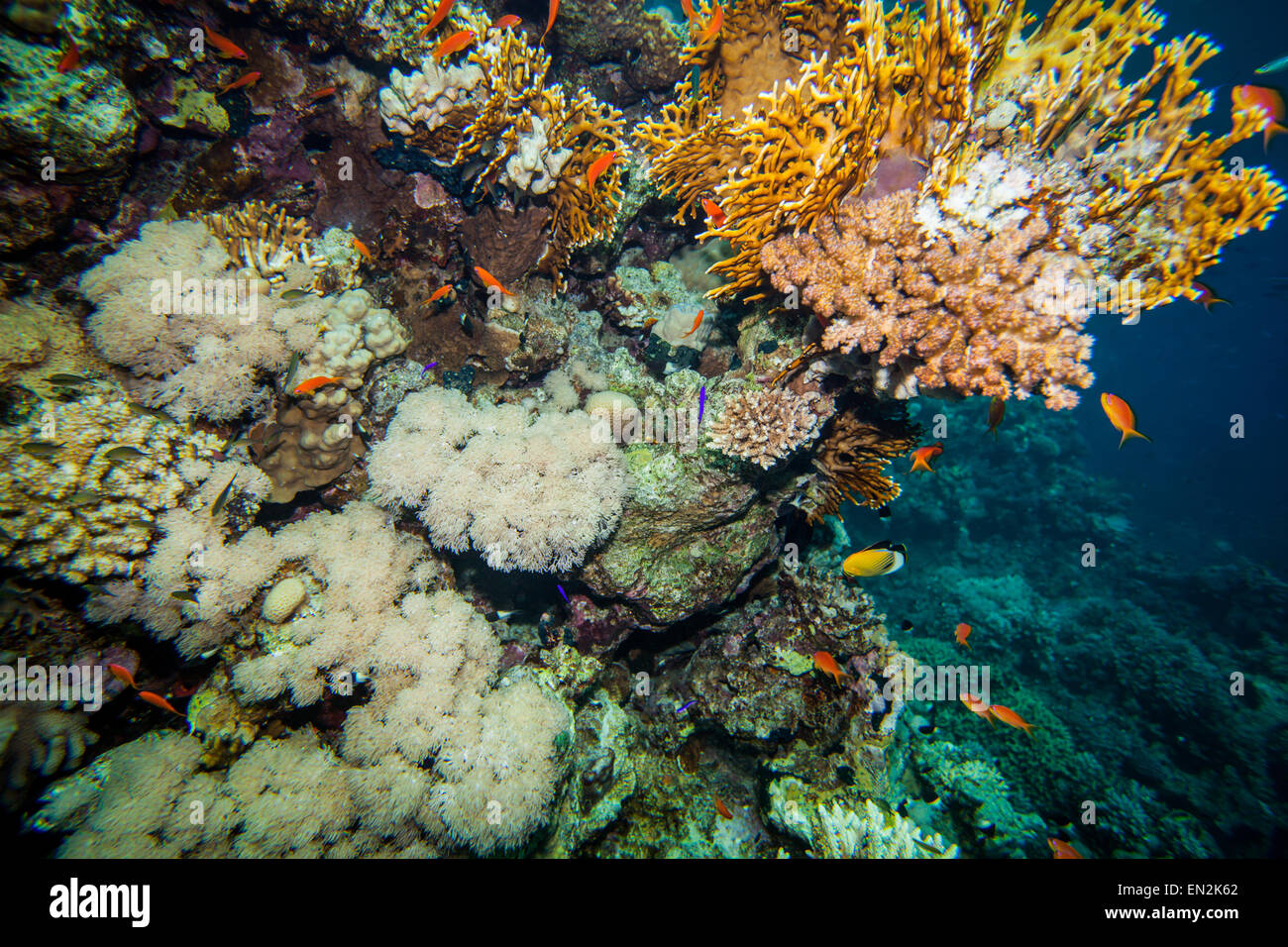 Red sea coral reef - Stock Image