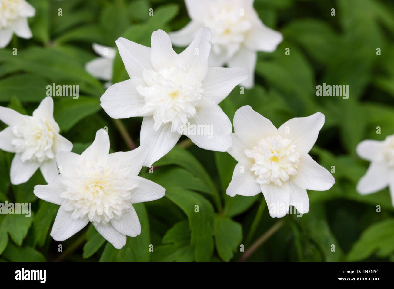 Flowers of the doubled form of the wood anemone, Anemone nemorosa 'Vestal' - Stock Image