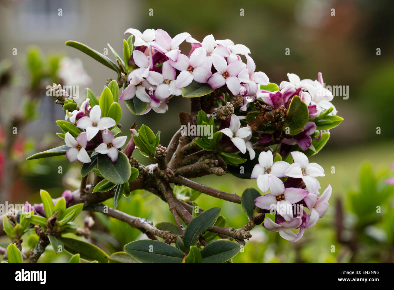 Scented spring flowers of the small evergreen shrub, Daphne tangutica - Stock Image
