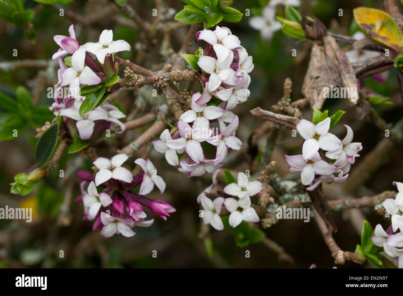 Scented spring flowers of the small evergreen shrub daphne scented spring flowers of the small evergreen shrub daphne tangutica mightylinksfo