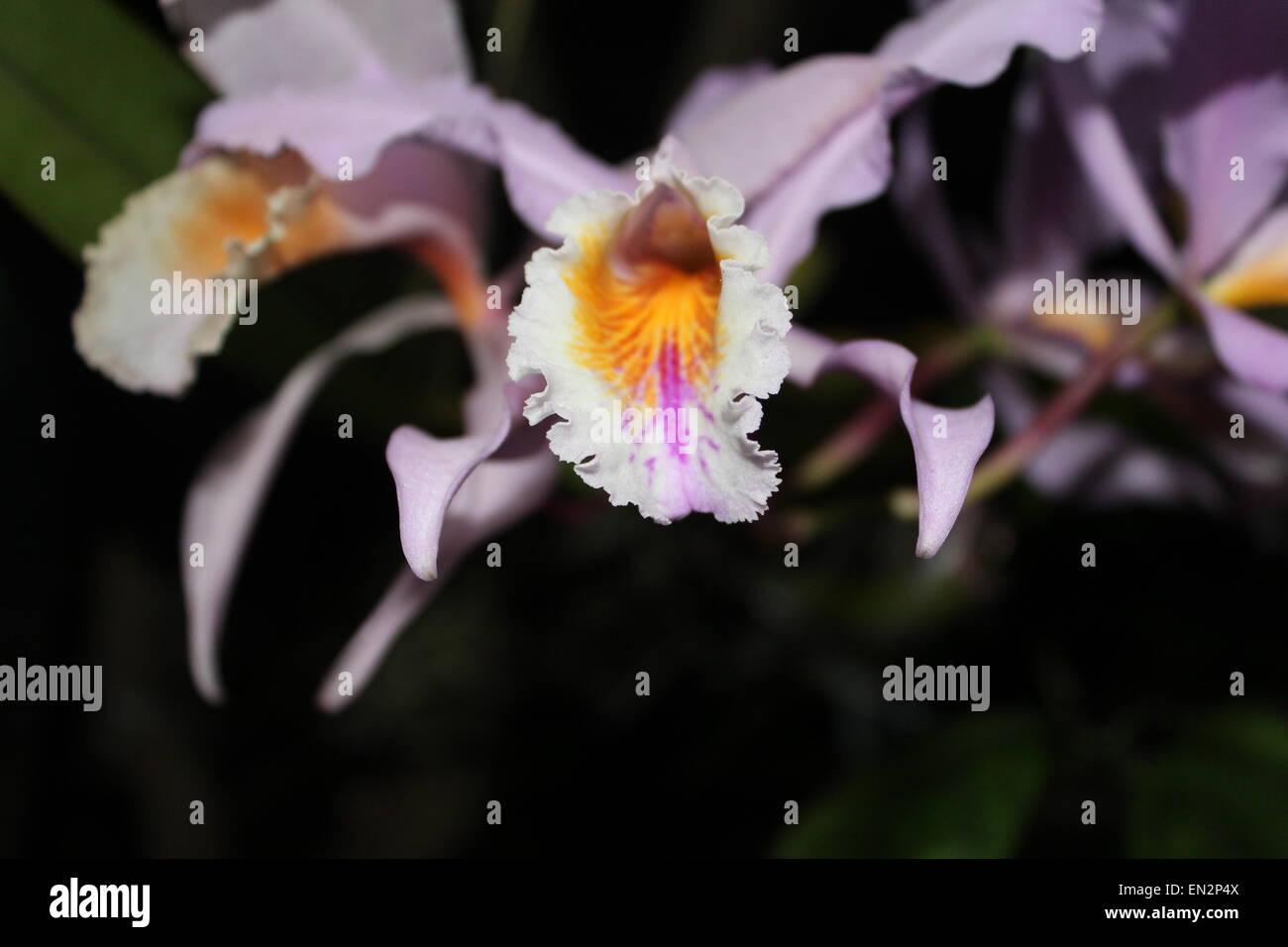 Orchidaceae, Orchid flower. - Stock Image