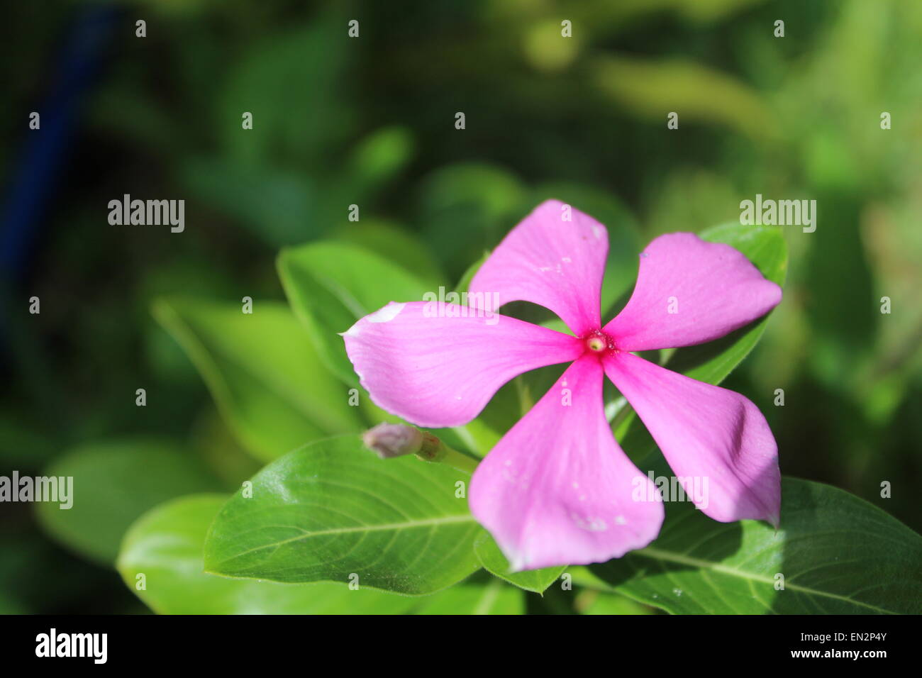 pink-purple Flower, Venezuela. America. - Stock Image