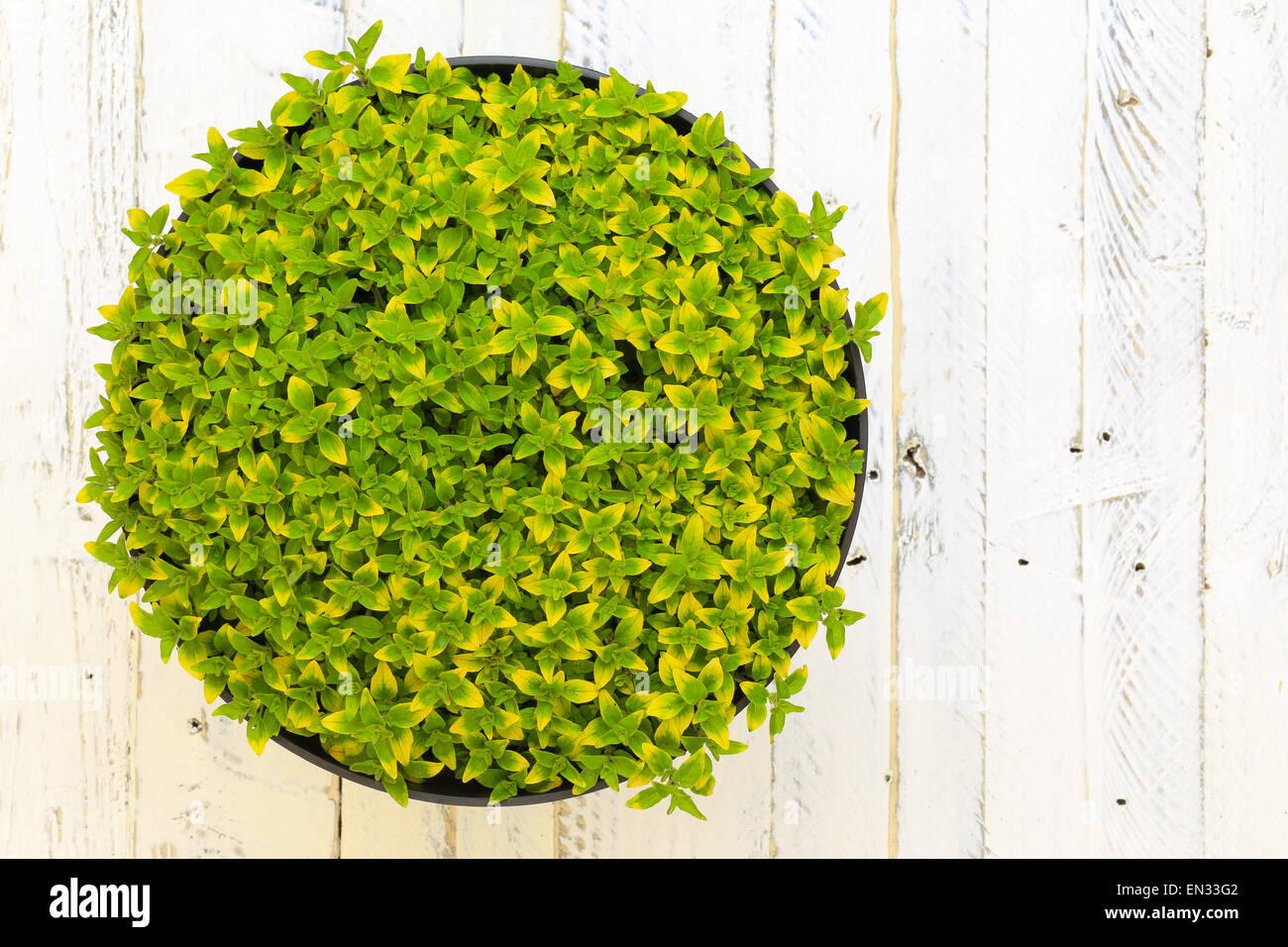 Oregano herb spicy plant with green yellow leaves (Origanum vulgare aureum) wild marjoram in black plant pot on - Stock Image