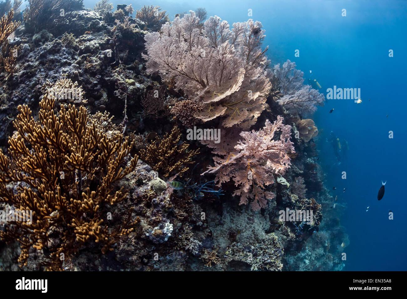 Gorgonian Coral (Annella reticulata), Menjangan, Bali, Indonesia - Stock Image