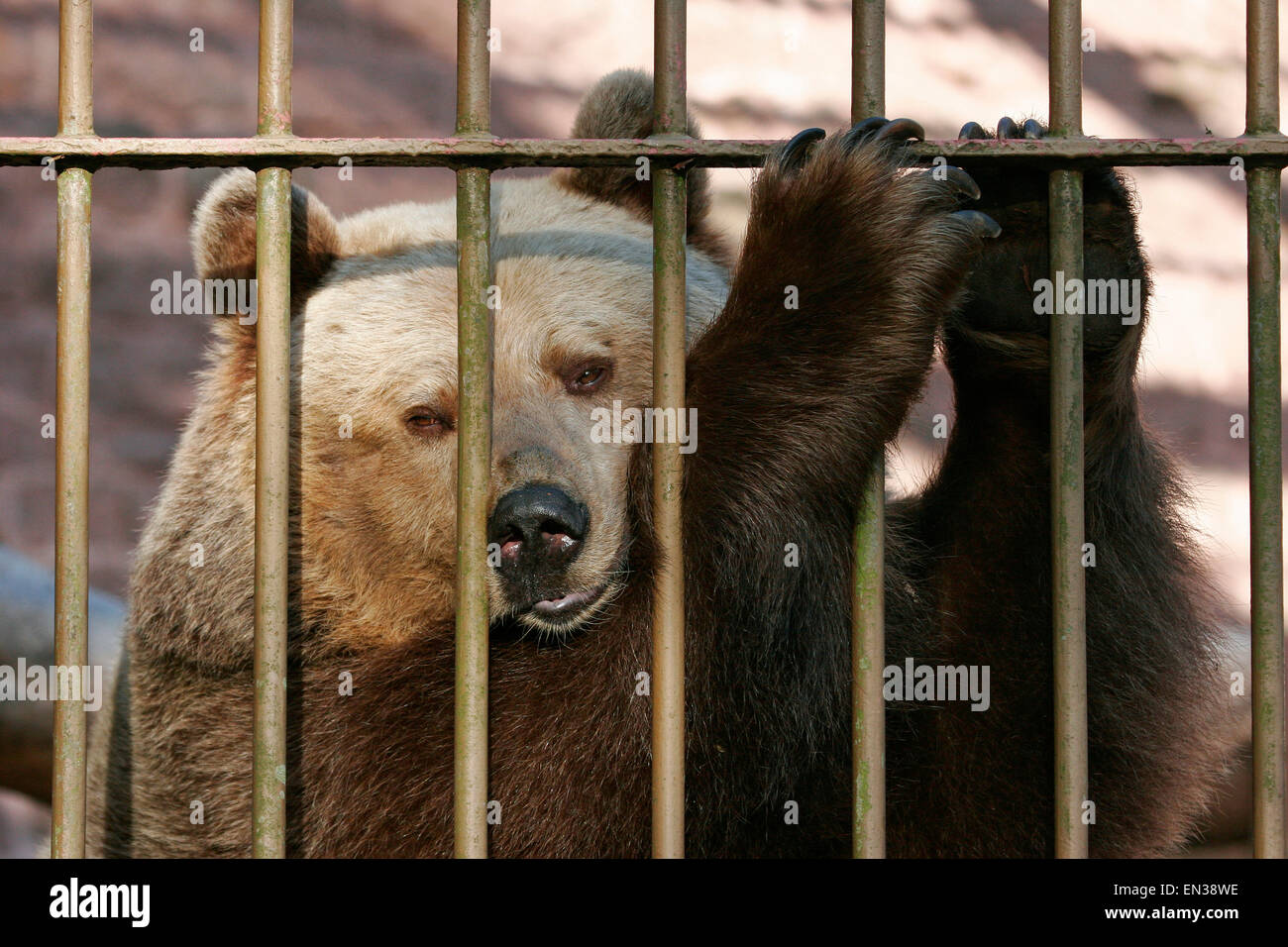 European brown bear (Ursus arctos) in the cage behind bars, captive, Thuringia, Germany - Stock Image