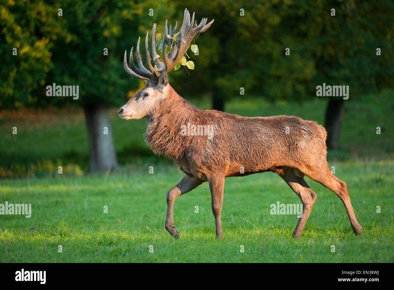 Red Deer (Cervus elaphus) stag walking across a meadow, captive, Bavaria, Germany Stock Photo