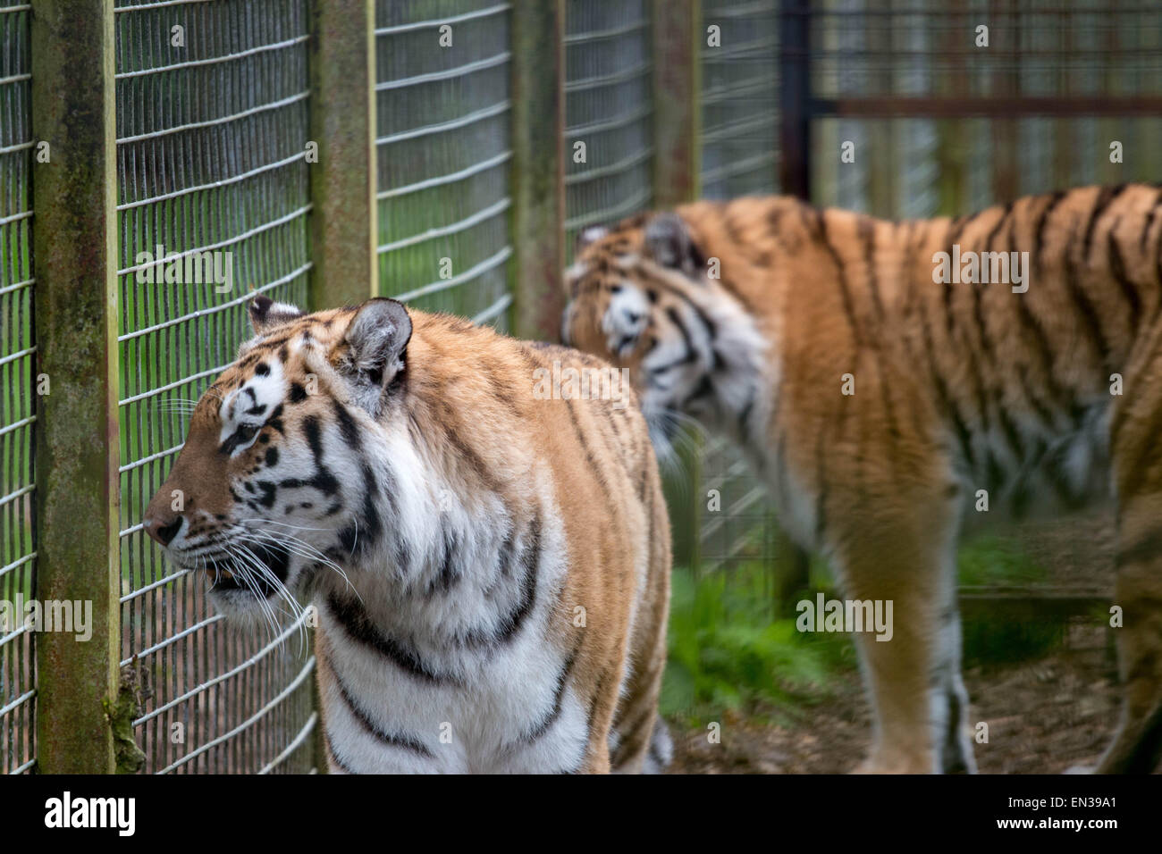 Port Lympne, Kent, UK. 25 apr 2015, Tigers wait eagerly as keepers hang meat in their enclosure Credit:  darren Stock Photo
