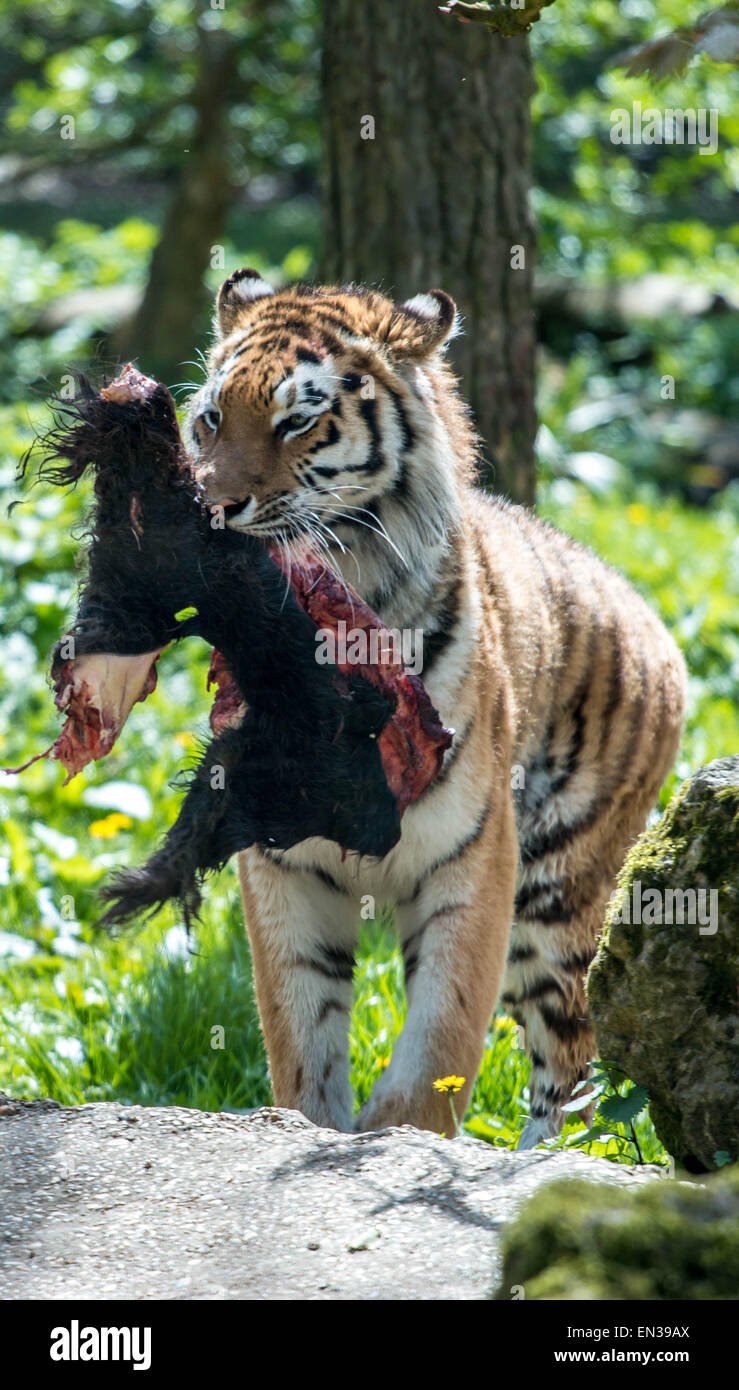 Port Lympne, Kent, UK. 25 apr 2015, Tigers at the reserve only get feed once every 2 weeks on average, this is similar Stock Photo