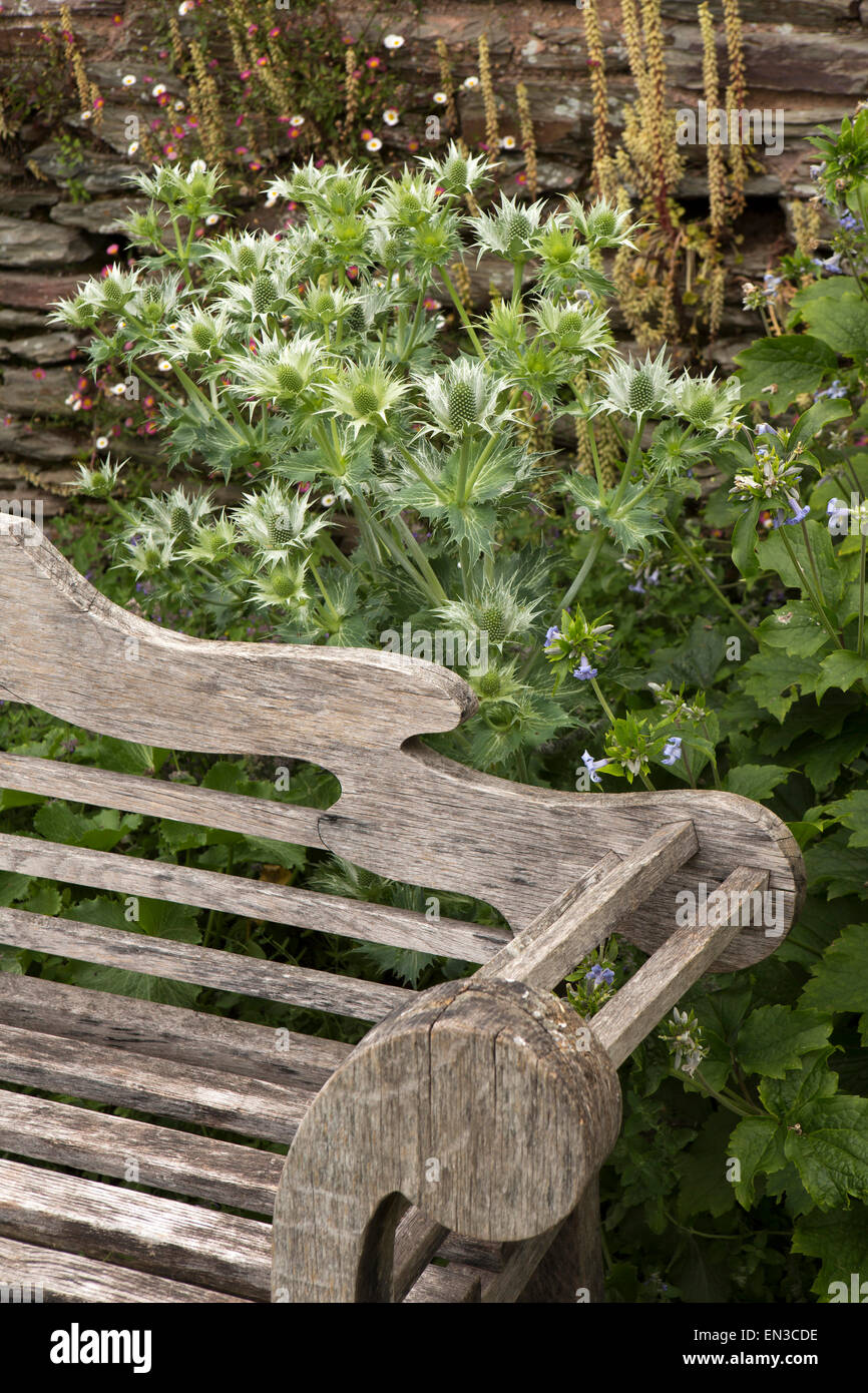 UK, England, Somerset, Cheddon Fitzpaine, Hestercombe Gardens, thistles growing behind weathered oak bench - Stock Image
