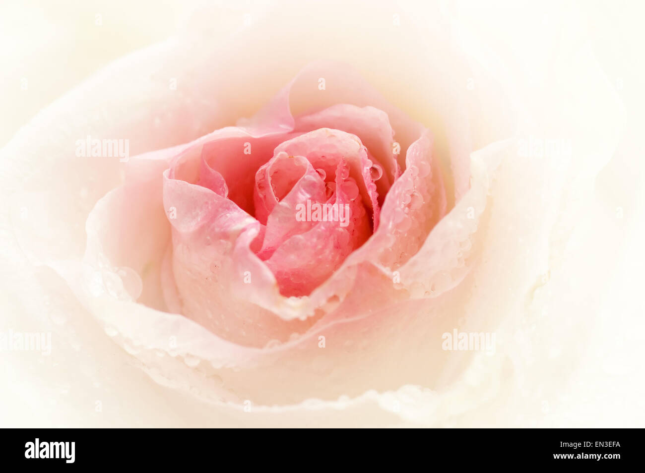 Close-up shot of a rose bud with water drops on petals Stock Photo