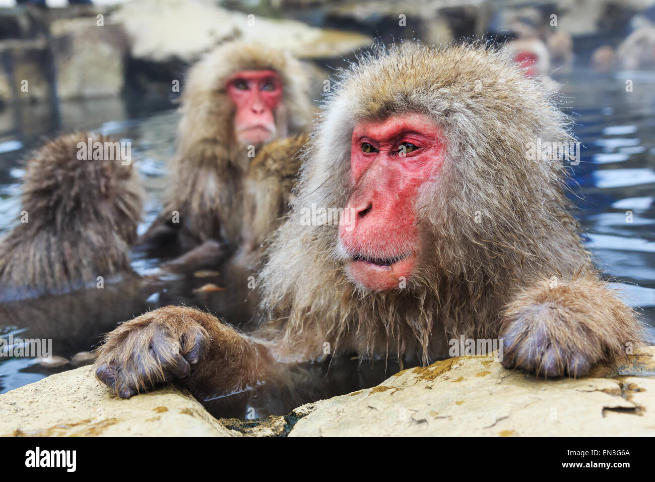 Snow monkeys in a natural onsen (hot spring), located in Jigokudani Park, Yudanaka. Nagano Japan. - Stock Image