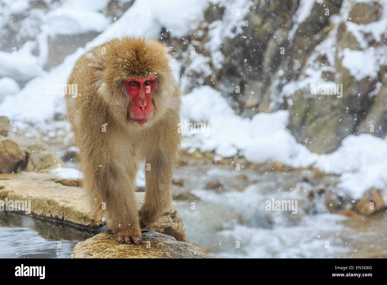 Snow monkey in a natural onsen (hot spring), located in Jigokudani Park, Yudanaka. Nagano Japan. - Stock Image
