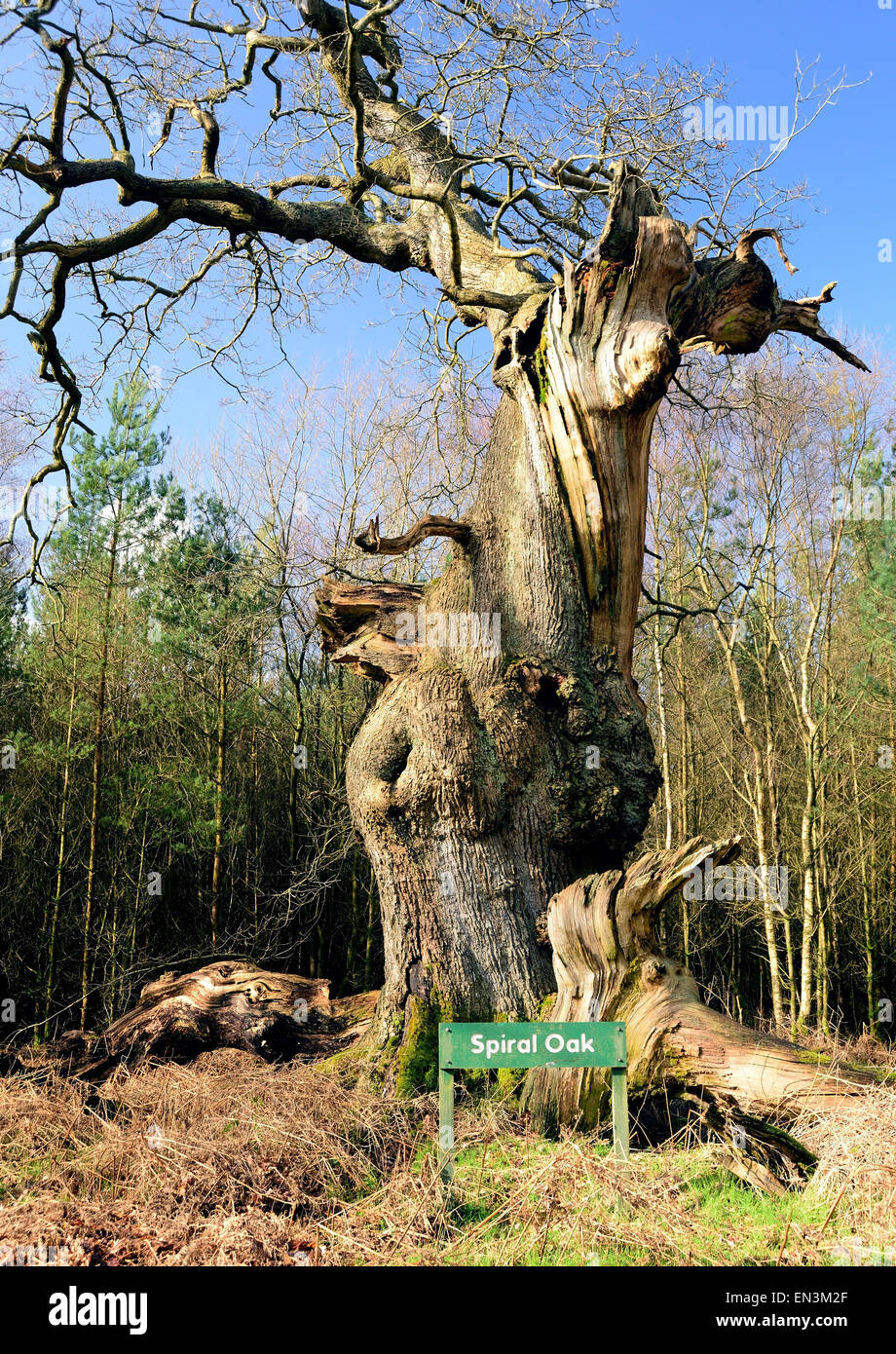Spiral Oak, one of the ancient trees of Savernake Forest. - Stock Image