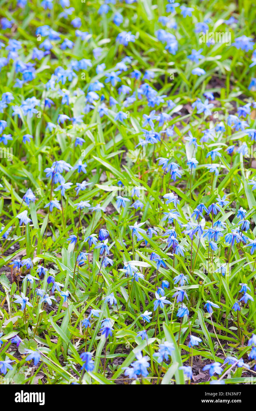 Bright Blue Spring Flowers Background Vertical Photo With Selective Focus And Shallow
