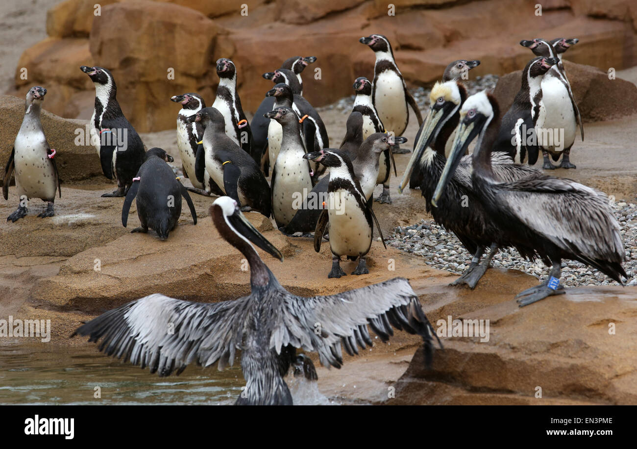 A group of Humboldt penguins and pelicans move into their new enclosure at the bird park and sanctuary inMarlow, - Stock Image