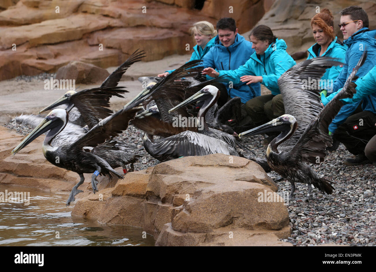 Staff members are helping a group of Humboldt penguins to get accustomed to their new enclosure at the bird park - Stock Image