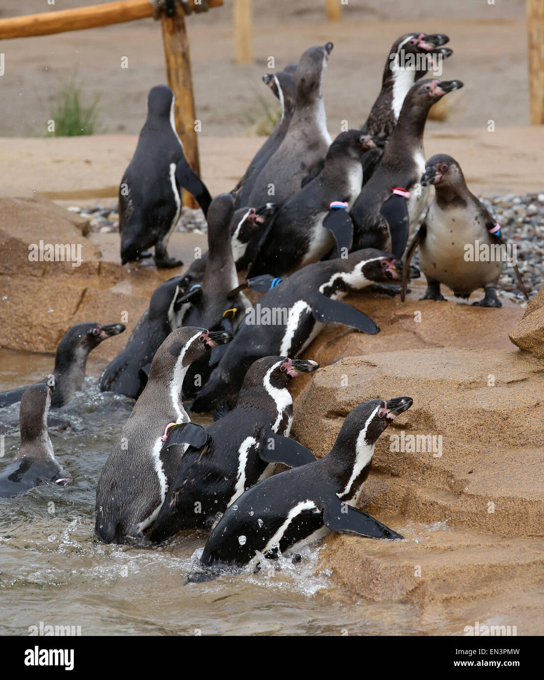 A group of Humboldt penguins move into their new enclosure at the bird park and sanctuary inMarlow, Germany, - Stock Image