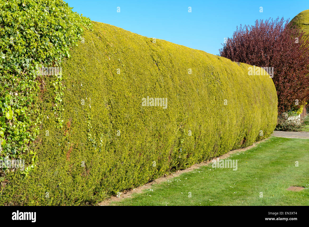 Long trimmed green hedge in a garden. - Stock Image