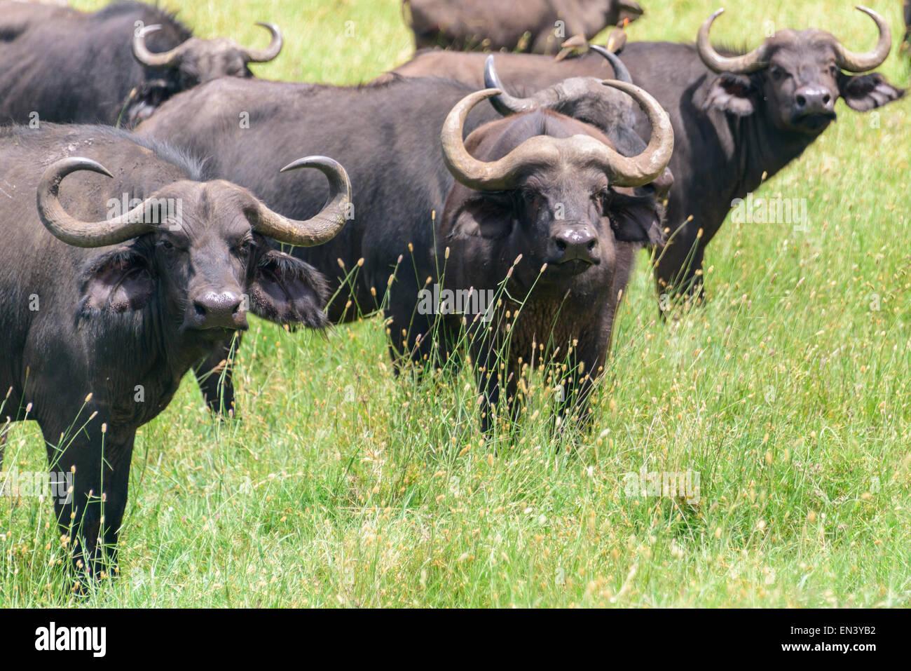 Syncerus caffer, African buffalo, Cape buffalo in Ngorongoro Conservation Area, Tanzania, Africa. Stock Photo