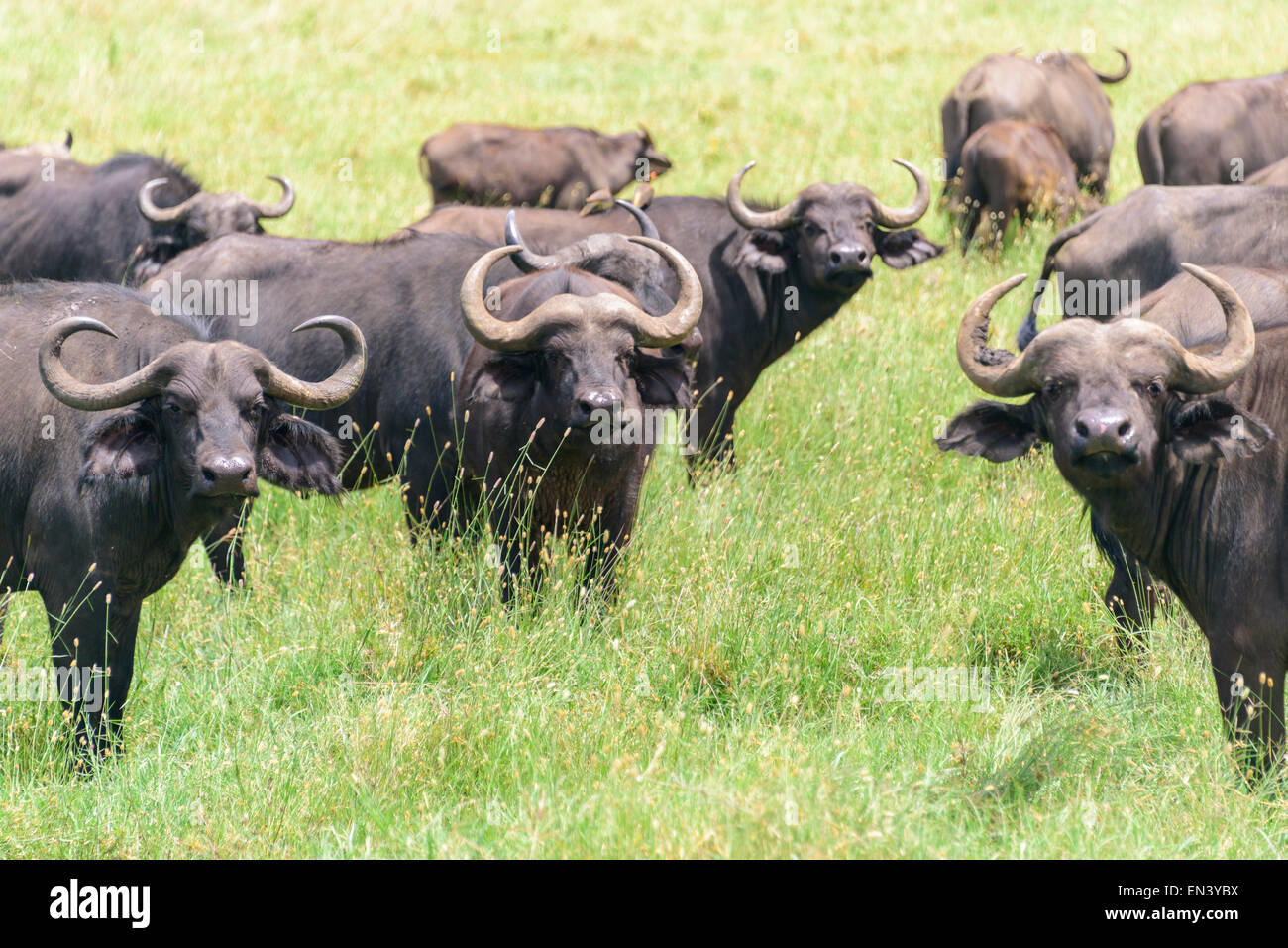 Syncerus caffer, African buffalo, Cape buffalo in Ngorongoro Conservation Area, Tanzania, Africa. Stock Photo