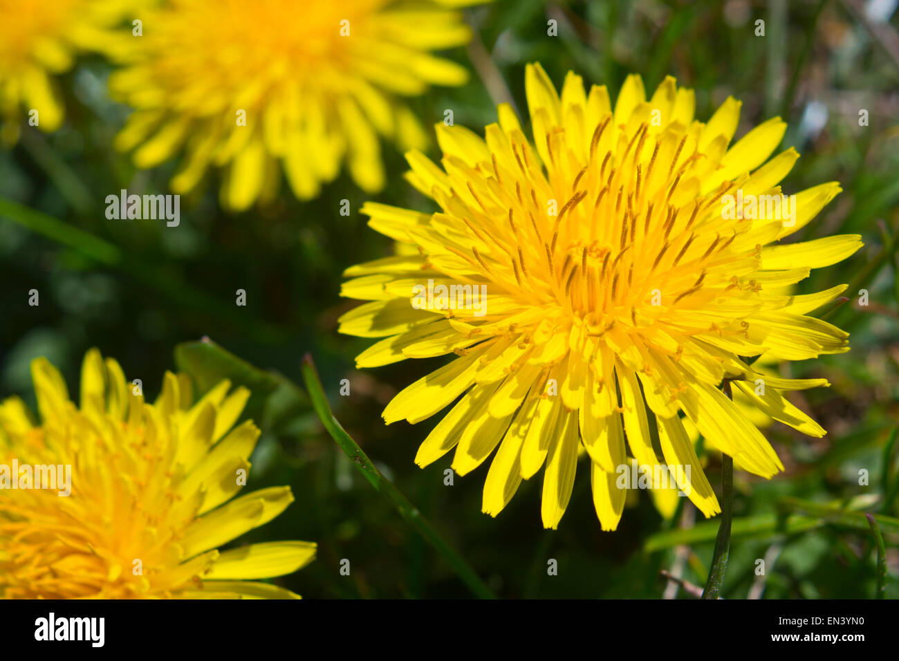 Yellow Dandelion flower Taraxacum officinale, the common dandelion - Stock Image