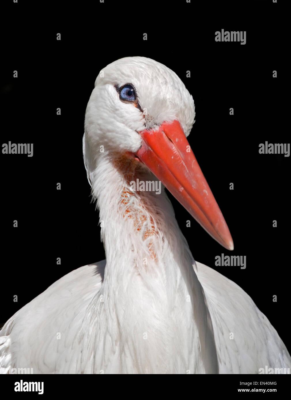 White Stork (ciconia ciconia) - Stock Image