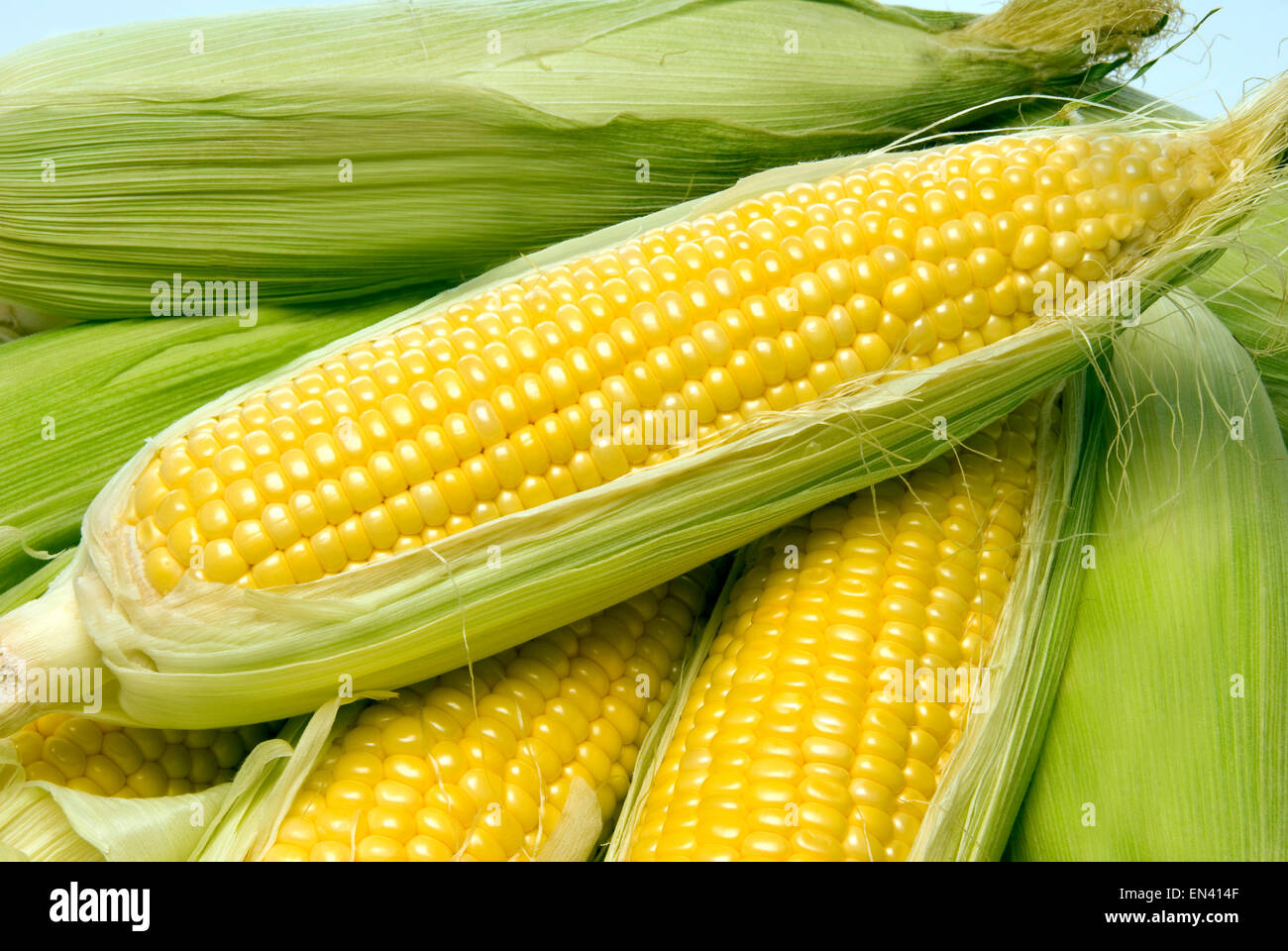 Delicious fresh picked ears of yellow sweet corn. - Stock Image