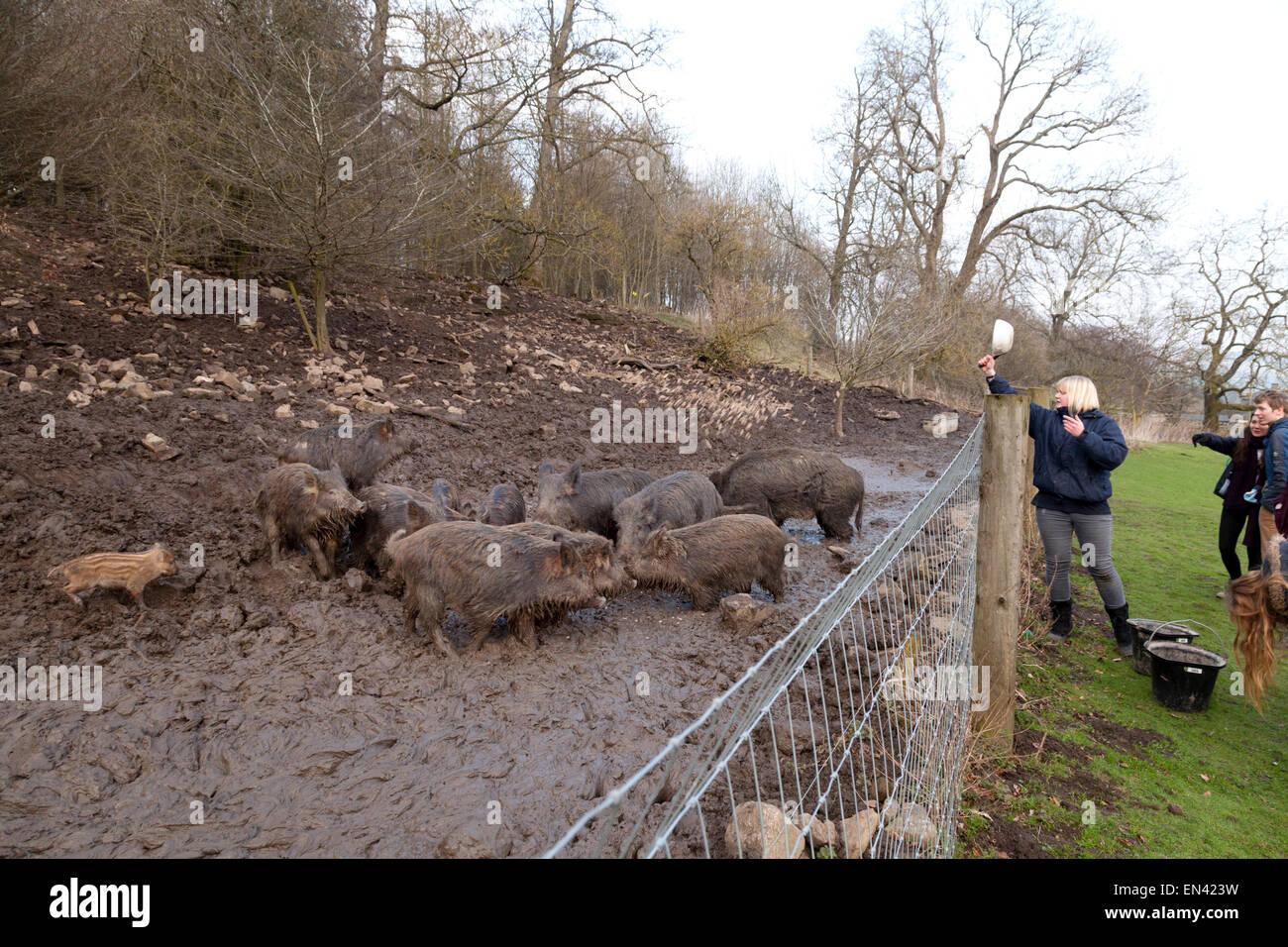 Feeding captive wild boars at Bolton Castle, Wensleydale, Yorkshire UK - Stock Image