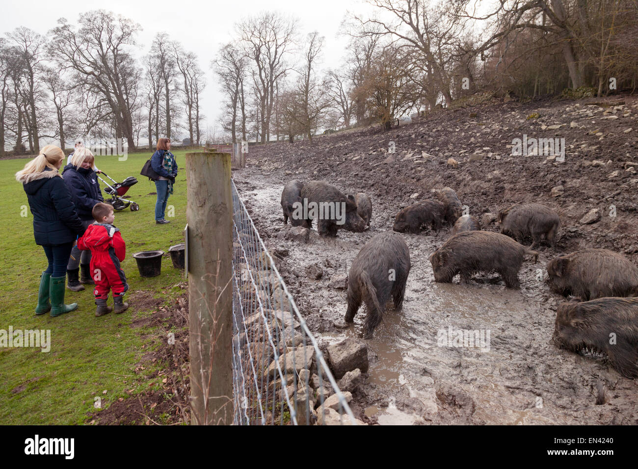 A family looking at group of captive wild boars, Castle Bolton, North Yorkshire Dales UK - Stock Image