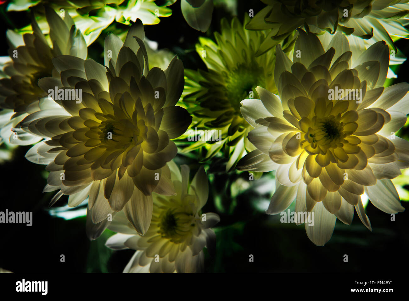 High resolution back lit dahlias that glow with tremendous texture and detail. Stock Photo