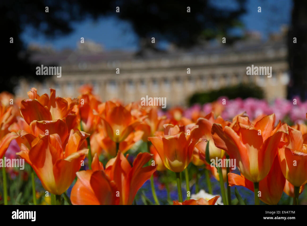 Bright tulips in front of Royal Crescent, Bath, England - Stock Image