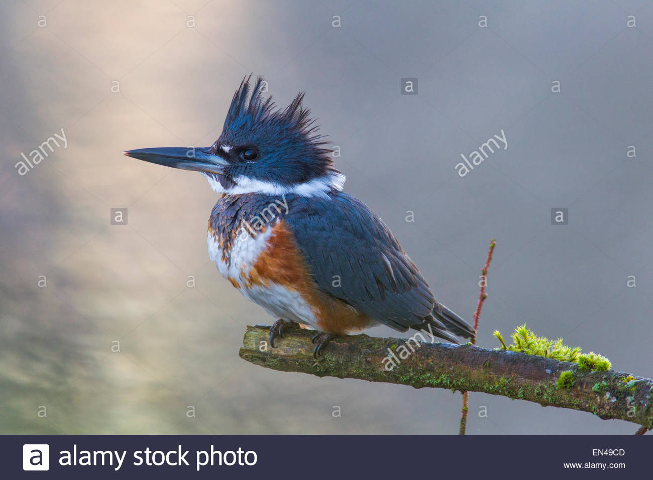 A female belted kingfisher (Megaceryle alcyon) hunts from its perch on a branch over the Sammamish River in Kenmore, - Stock Image