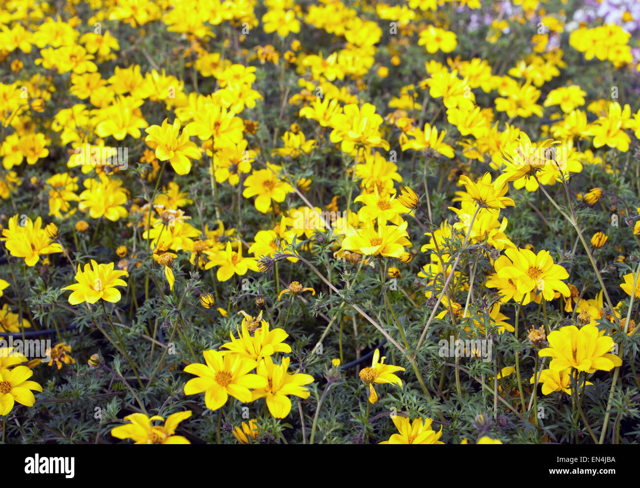 Large field of yellow flowers called bidens in spring stock photo large field of yellow flowers called bidens in spring mightylinksfo