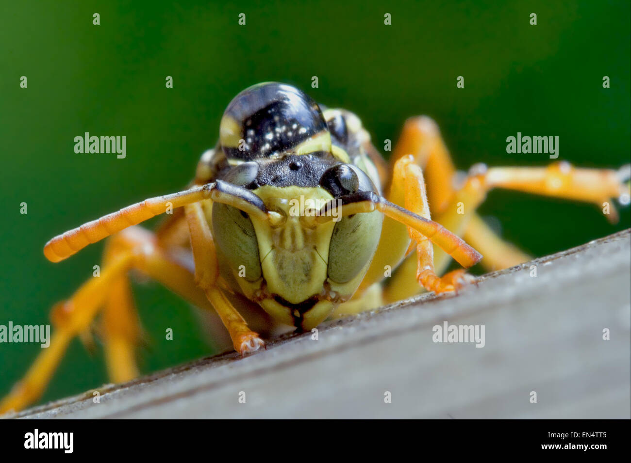 an Hymenopterans with a drop in his hand - Stock Image