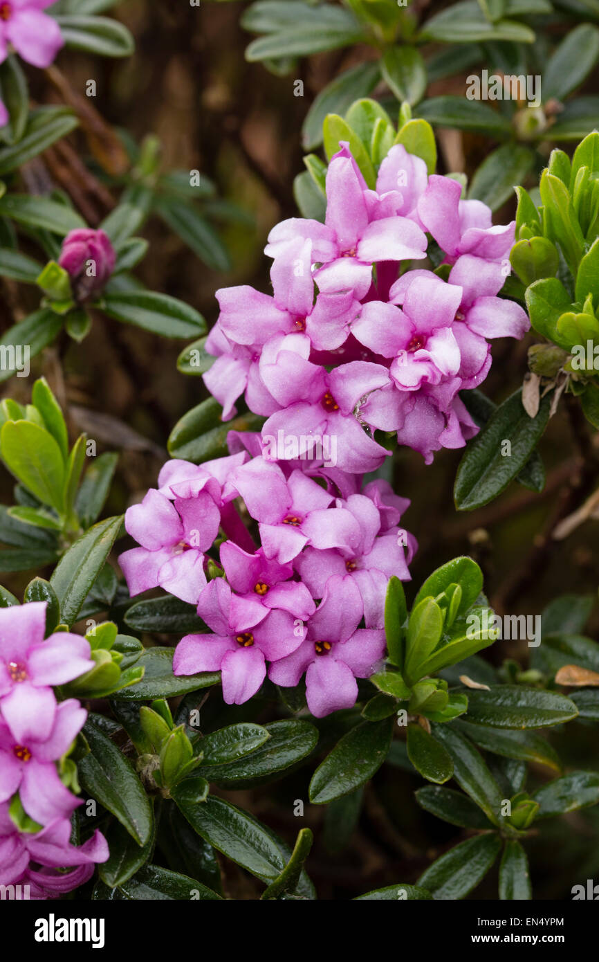 Scented pink flowers of the evergreen shrub daphne x susannae stock scented pink flowers of the evergreen shrub daphne x susannae cheriton mightylinksfo