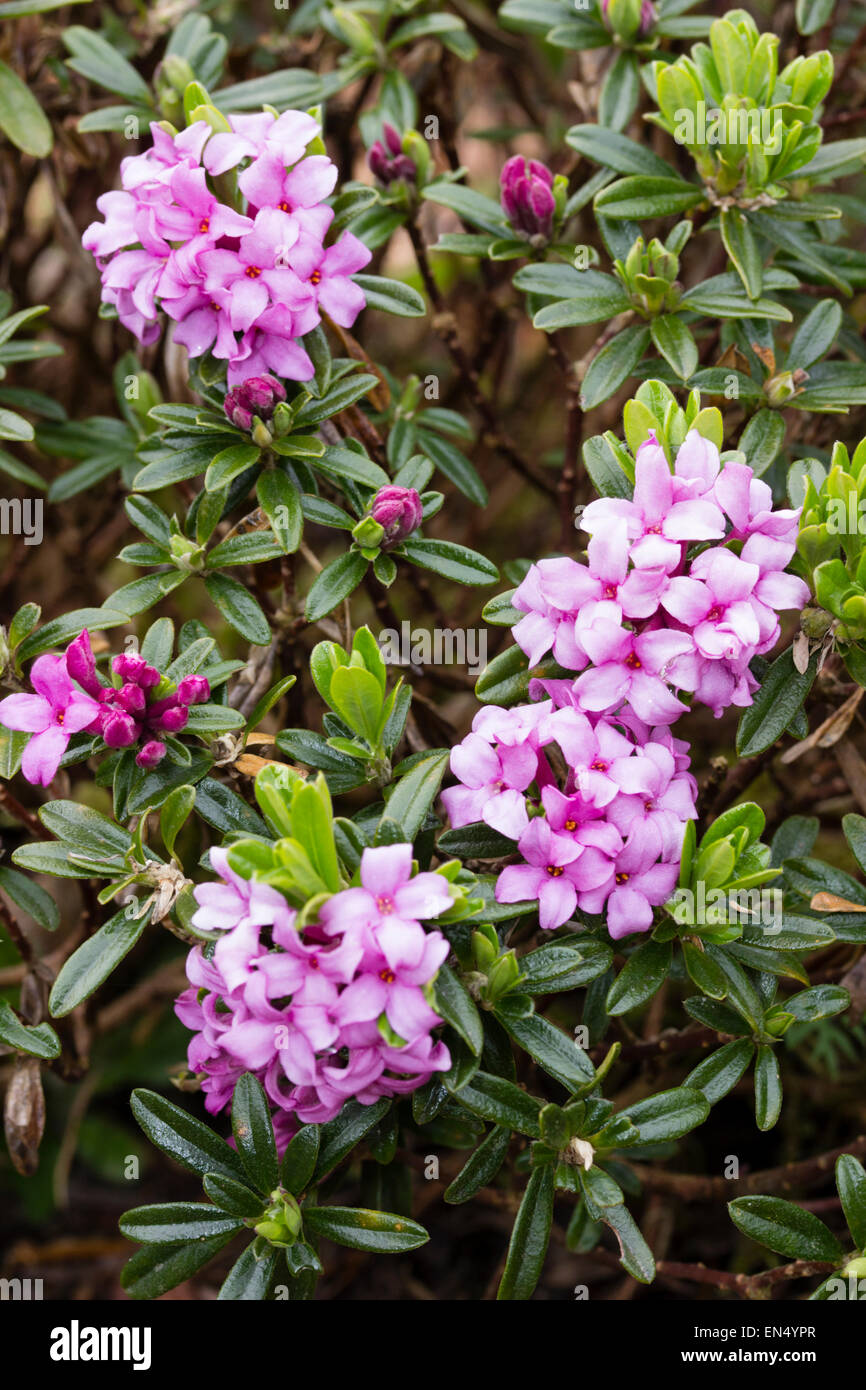 Scented pink flowers of the evergreen shrub daphne x susannae stock scented pink flowers of the evergreen shrub daphne x susannae cheriton mightylinksfo Image collections