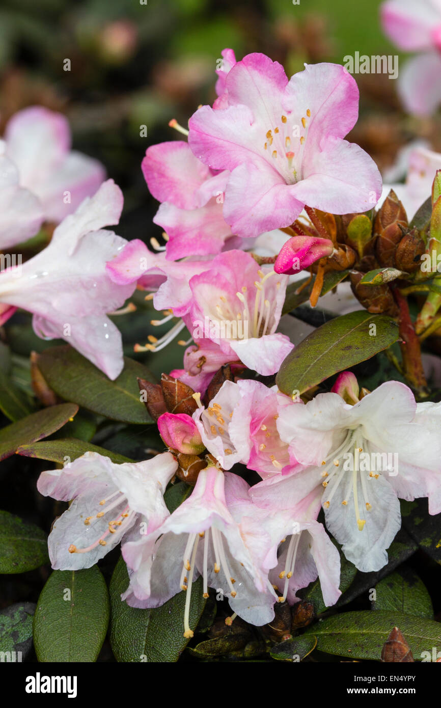 Spring flowers of the dwarf Rhododendron 'Ginny Gee' Stock Photo