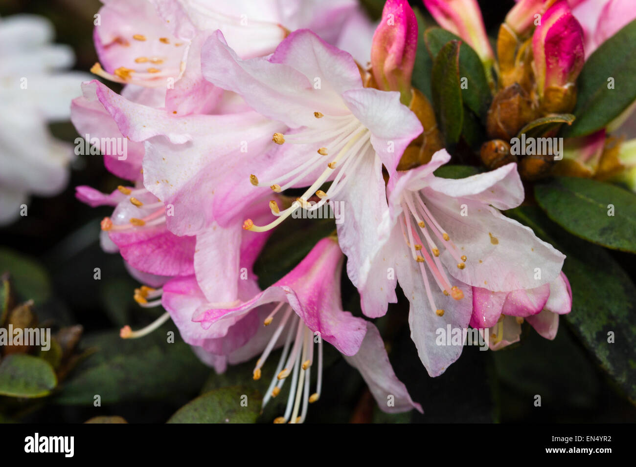Spring flowers of the dwarf Rhododendron 'Ginny Gee' - Stock Image