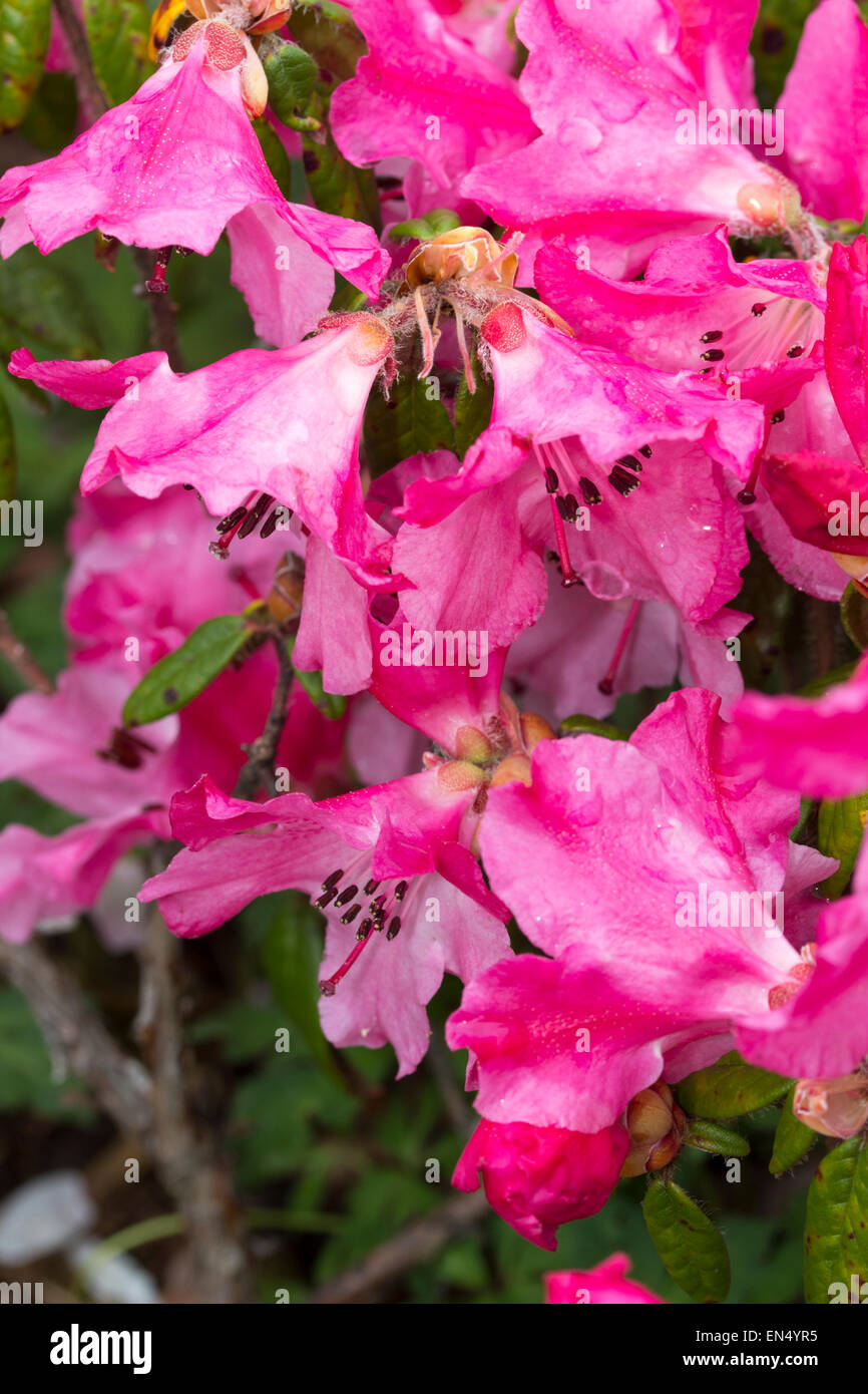 Close up of flower of the dwarf, evergreen Rhododendron 'Plover' - Stock Image
