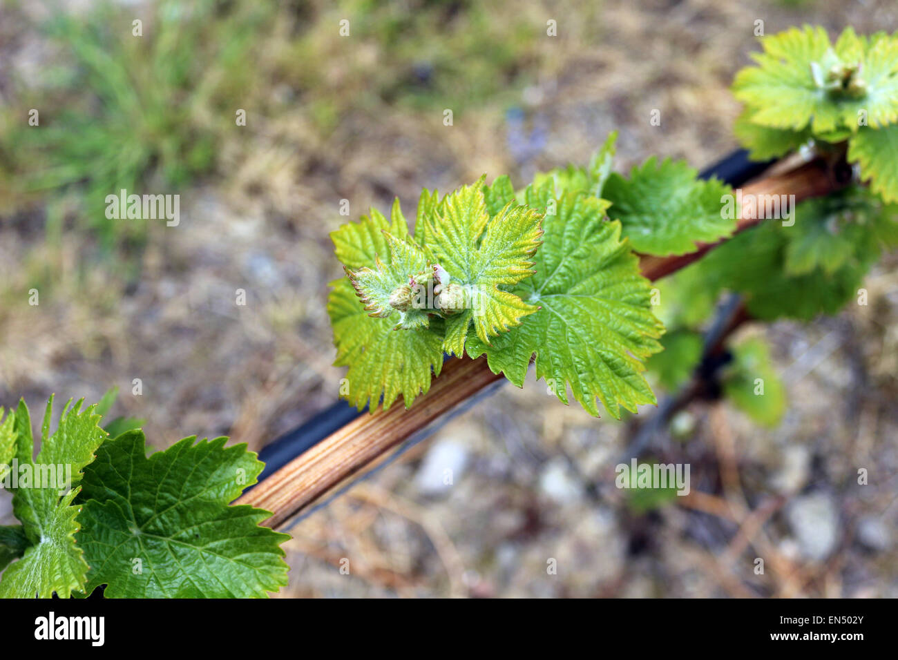 Young grape vine leaves in Liguria. Photography by Qin Xie. Stock Photo