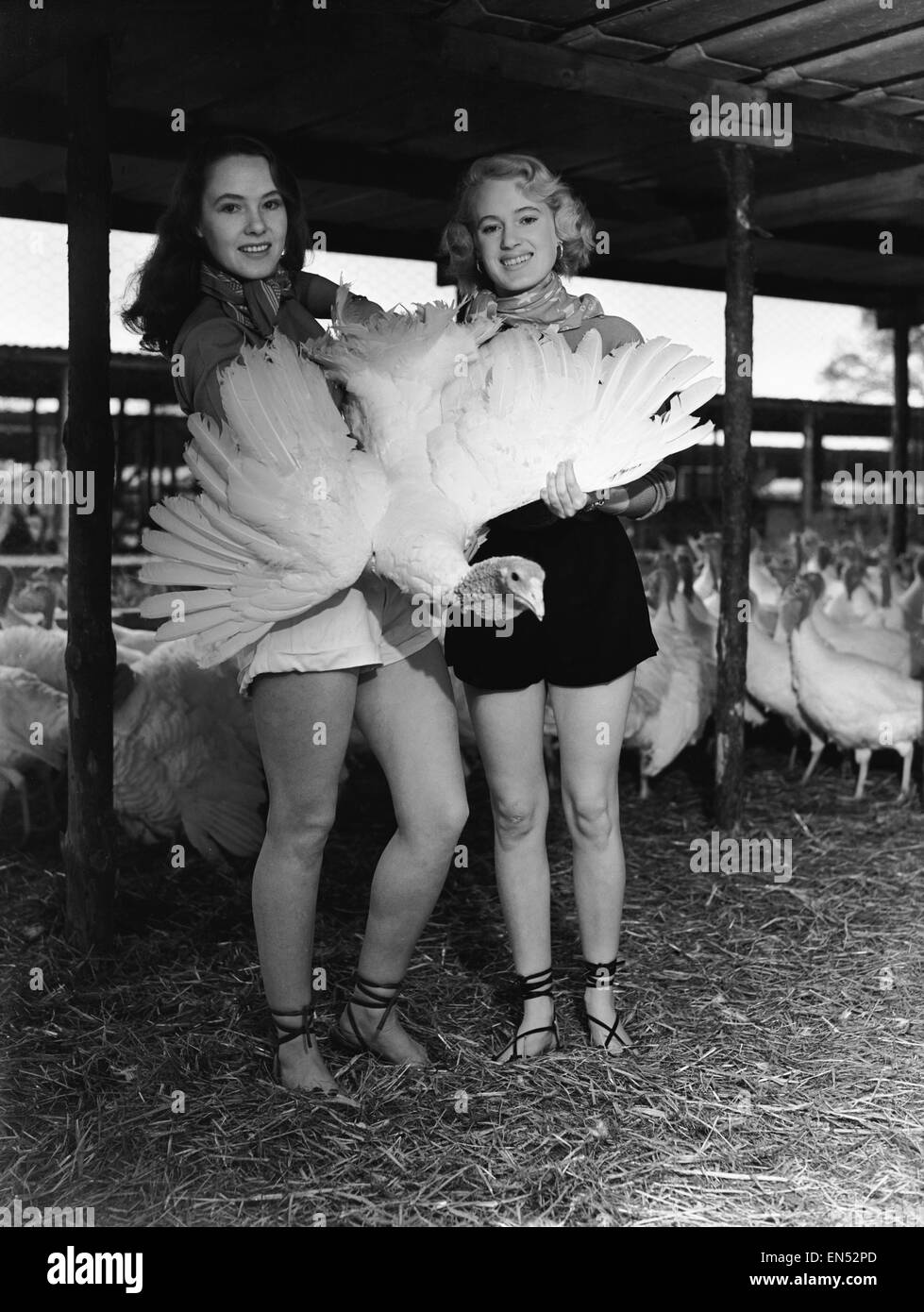 Monica Hasell (left) and friend seen here selecting Christmas turkeys at Happins Farm, Kingshill, Buckinghamshire. - Stock Image