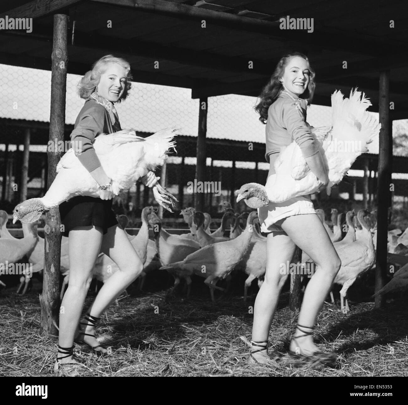 Monica Hasell (right) and friend seen here selecting Christmas turkeys at Happins Farm, Kingshill, Buckinghamshire. - Stock Image