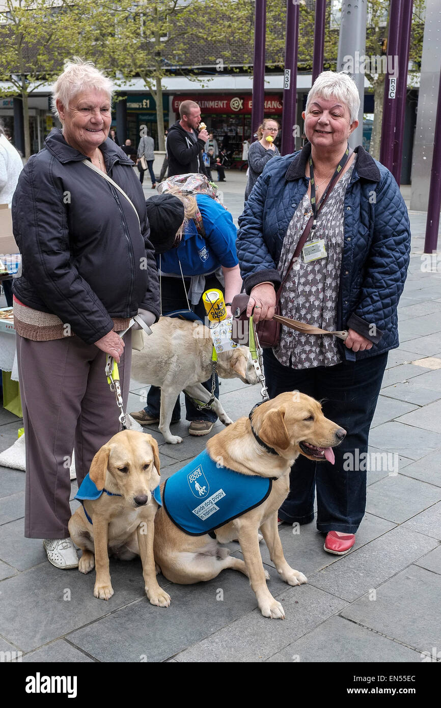 Guide Dogs in training. - Stock Image