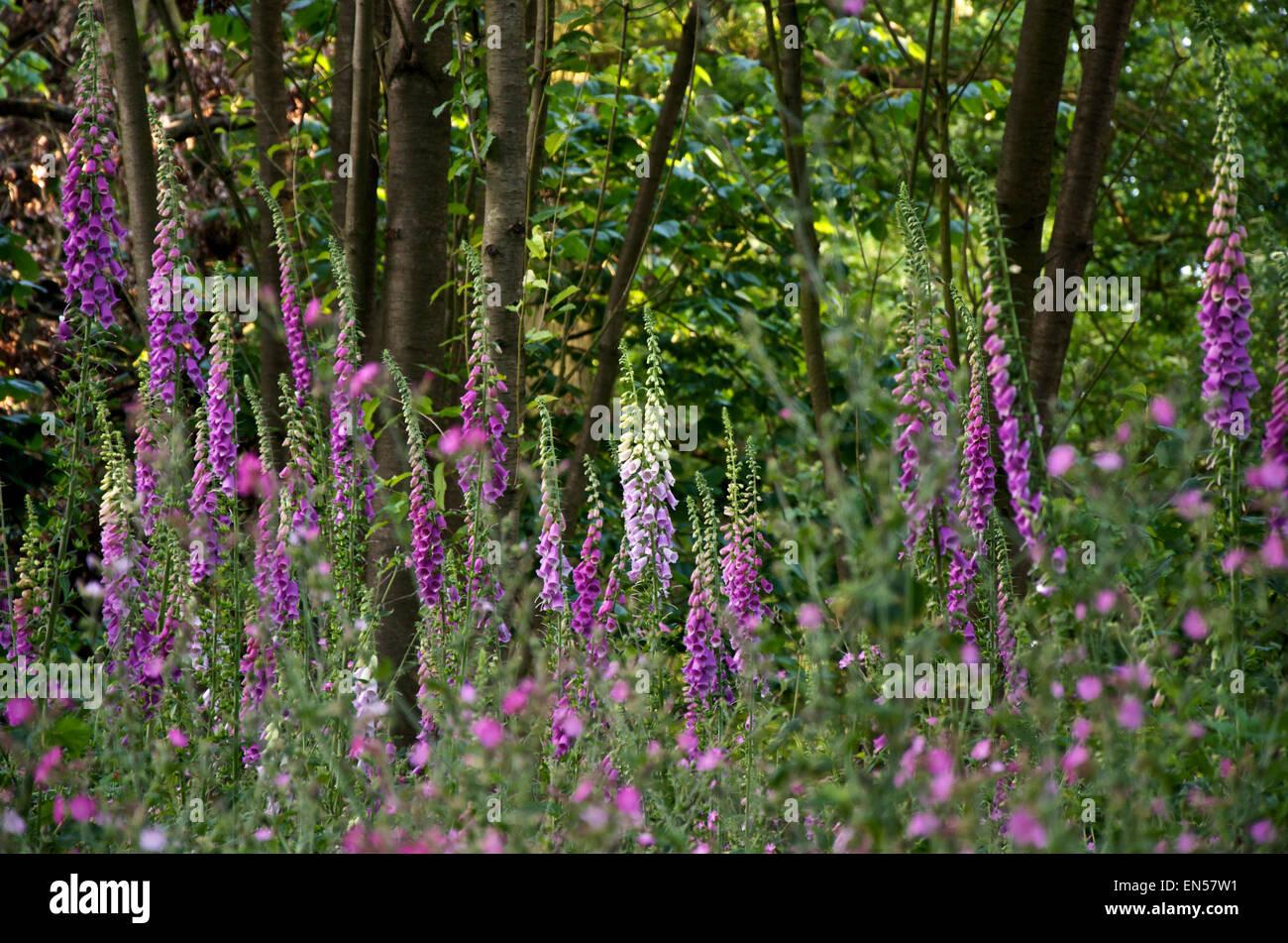 Woodland Foxgloves - Stock Image