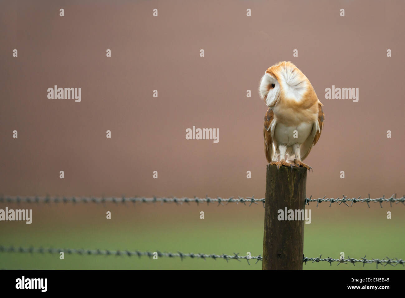 Ruffled Wild Barn Owl Tyto Alba perched on wooden fence post, Gloucestershire - Stock Image