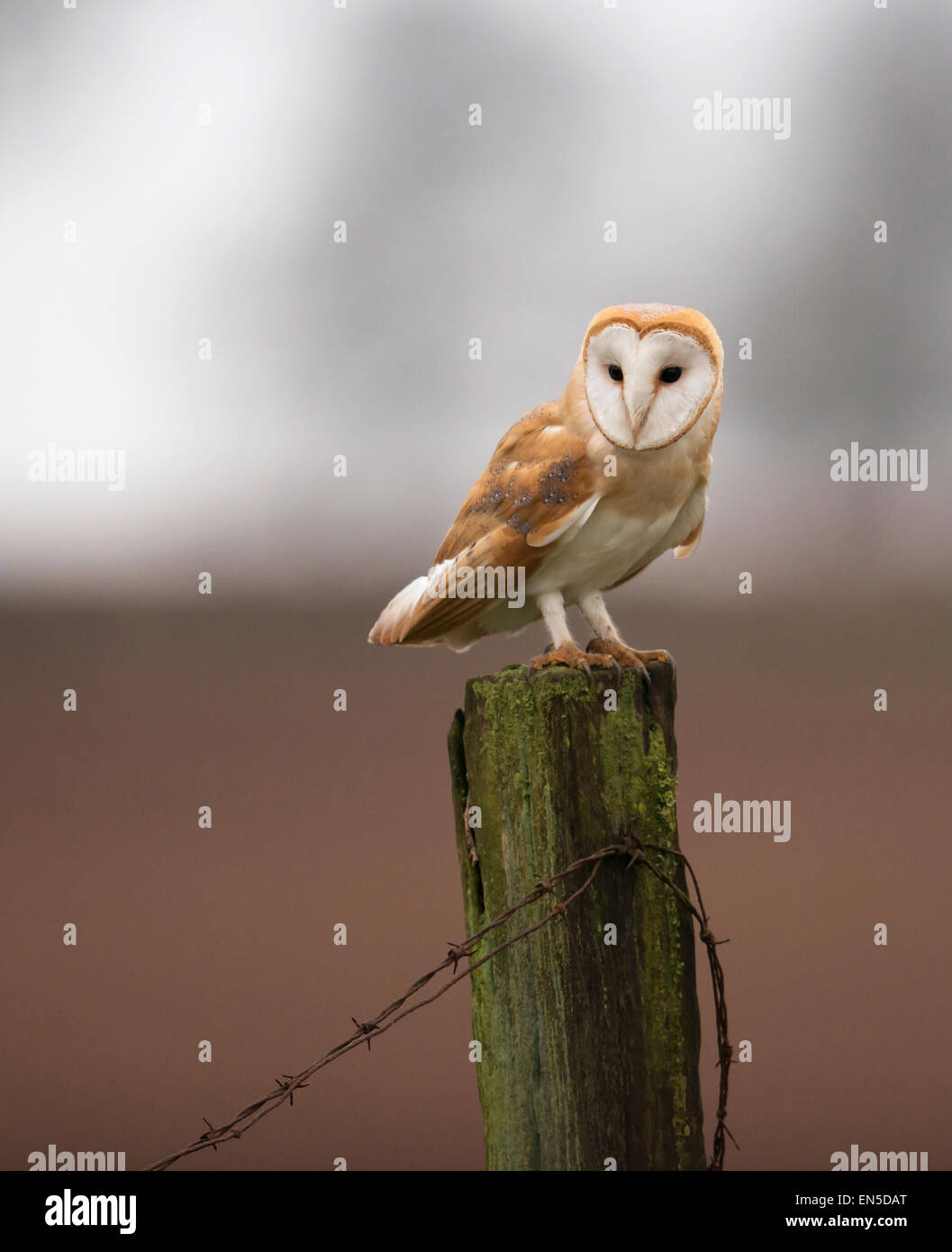 Wild Barn Owl Tyto Alba perched on wooden fence post, Gloucestershire - Stock Image